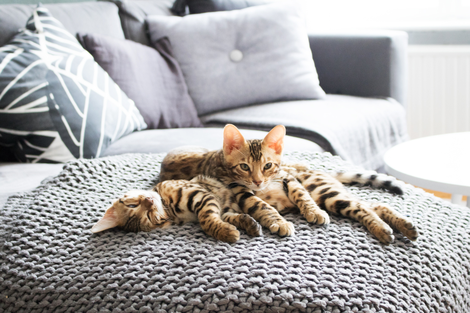 interior-blogger-bengal-cats-4